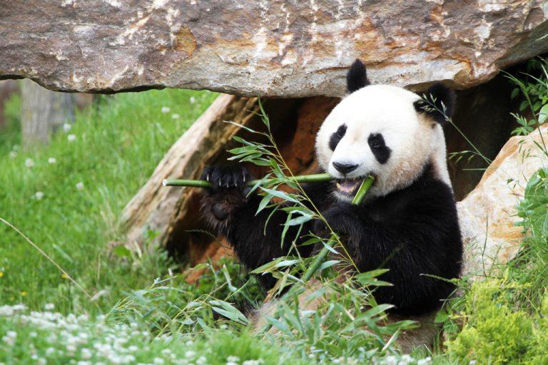 Parc De Fierbois : Mr Panda06 Zooparc De Beauval